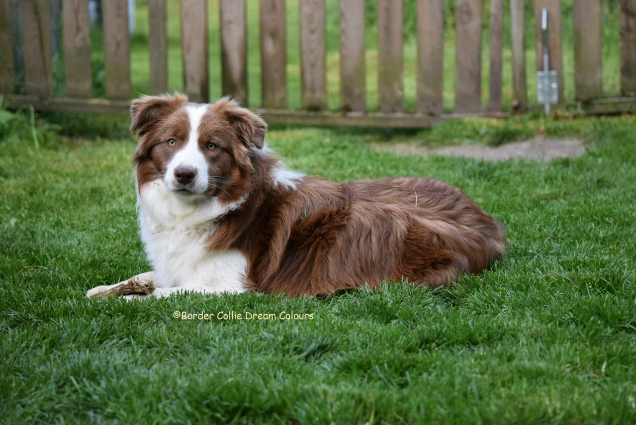 G And H Border Collies Dream Colours / D - ww...