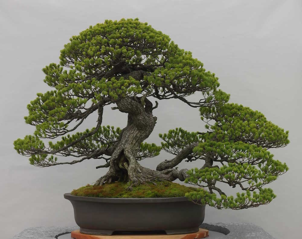 Home Juniper Bonsai Tree Wiring The More You Learn About Art Interesting Can Be Many Find Of Very Meditative And Great For Stress Reduction