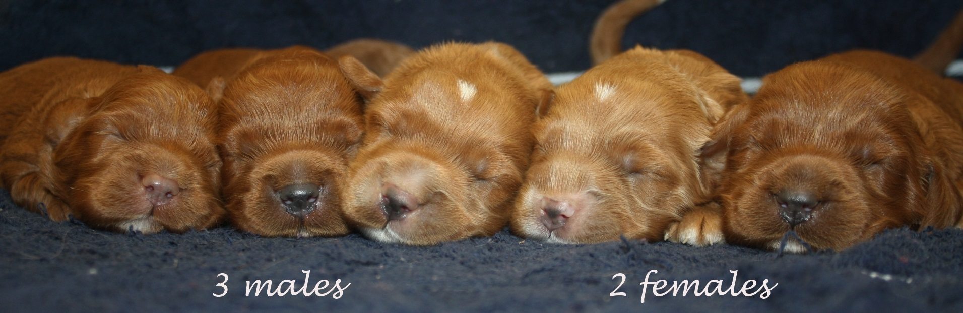 AVAILABLE PUPPIES - www timshell-puppies com