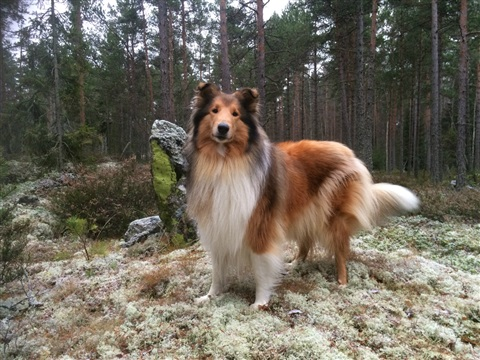 Pitkäkarvainen collie, Goldentroll's Snow Cloudberry