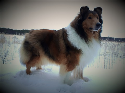 Pitkäkarvainen collie, Goldentroll's Fire Of The Sky