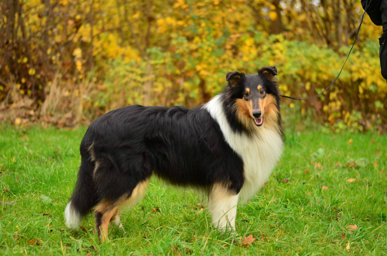 G And H Border Collies Forside - www.collie-d...