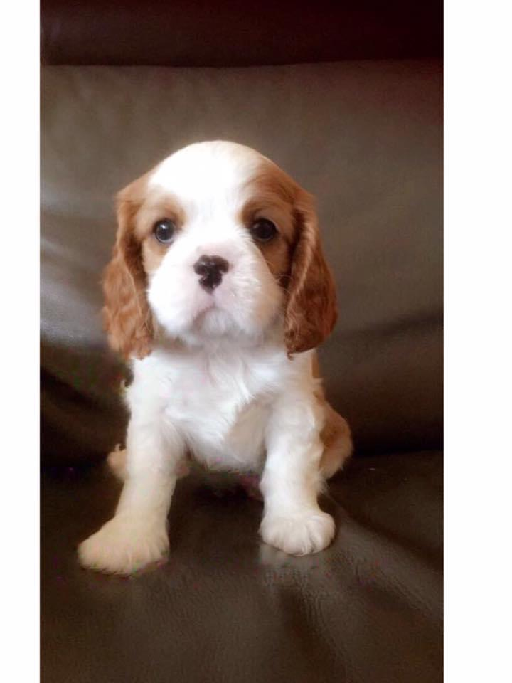Chiot C King Charles Www Cavalier King Charles Suisse Ch