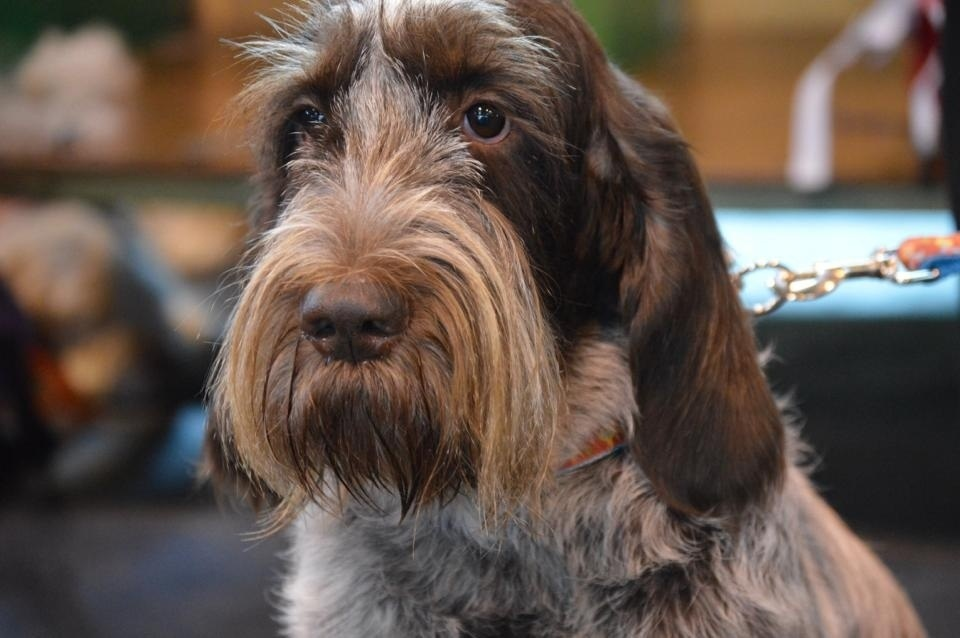 Spinone Dogs For Sale