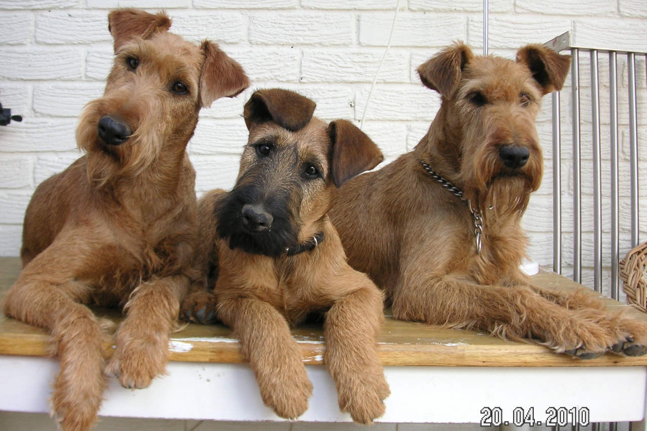 irish terrier puppies