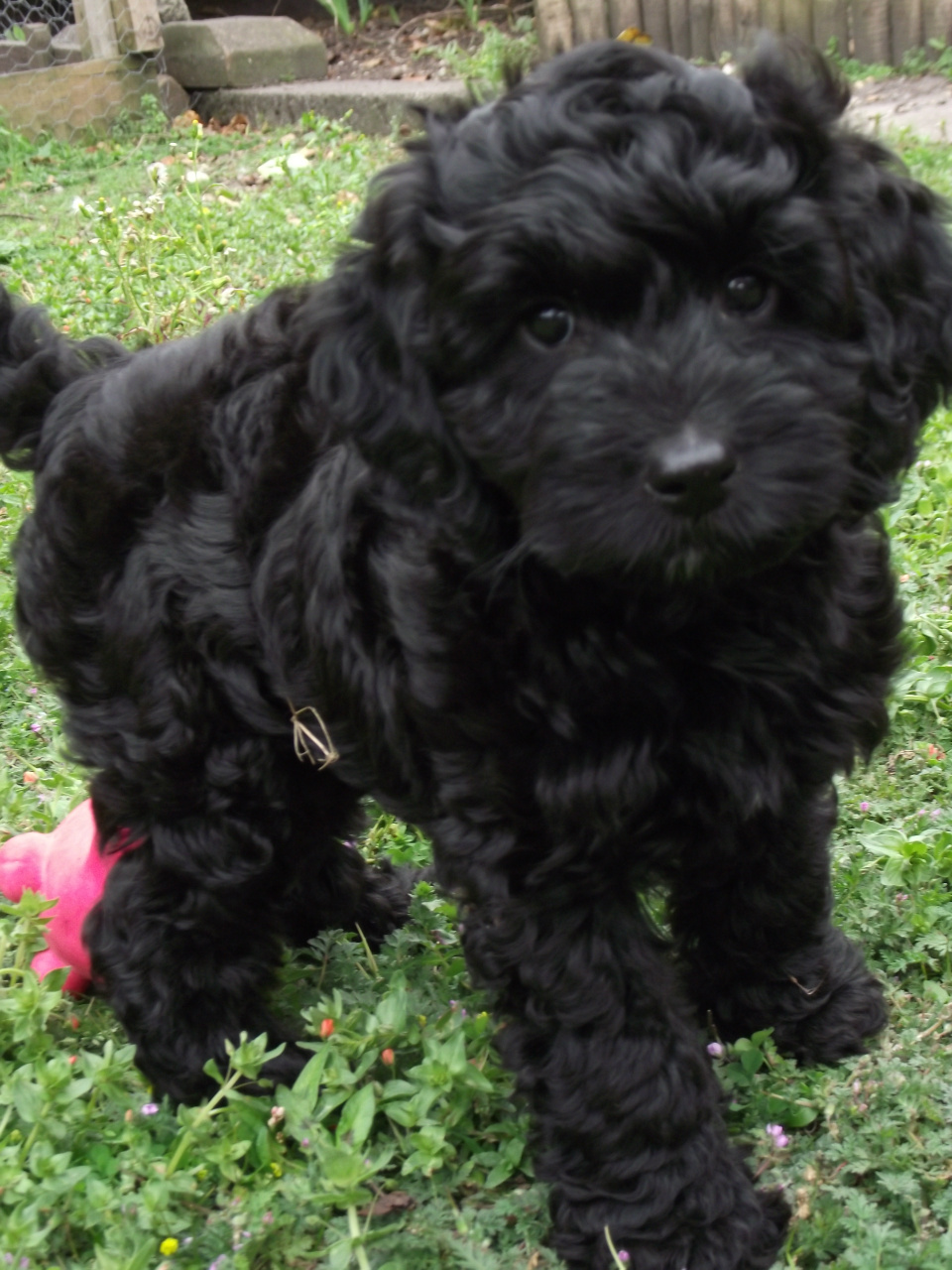 Previous Litters - www nutwellcockapoo-miki com