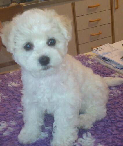 bichon se usa - photo #38