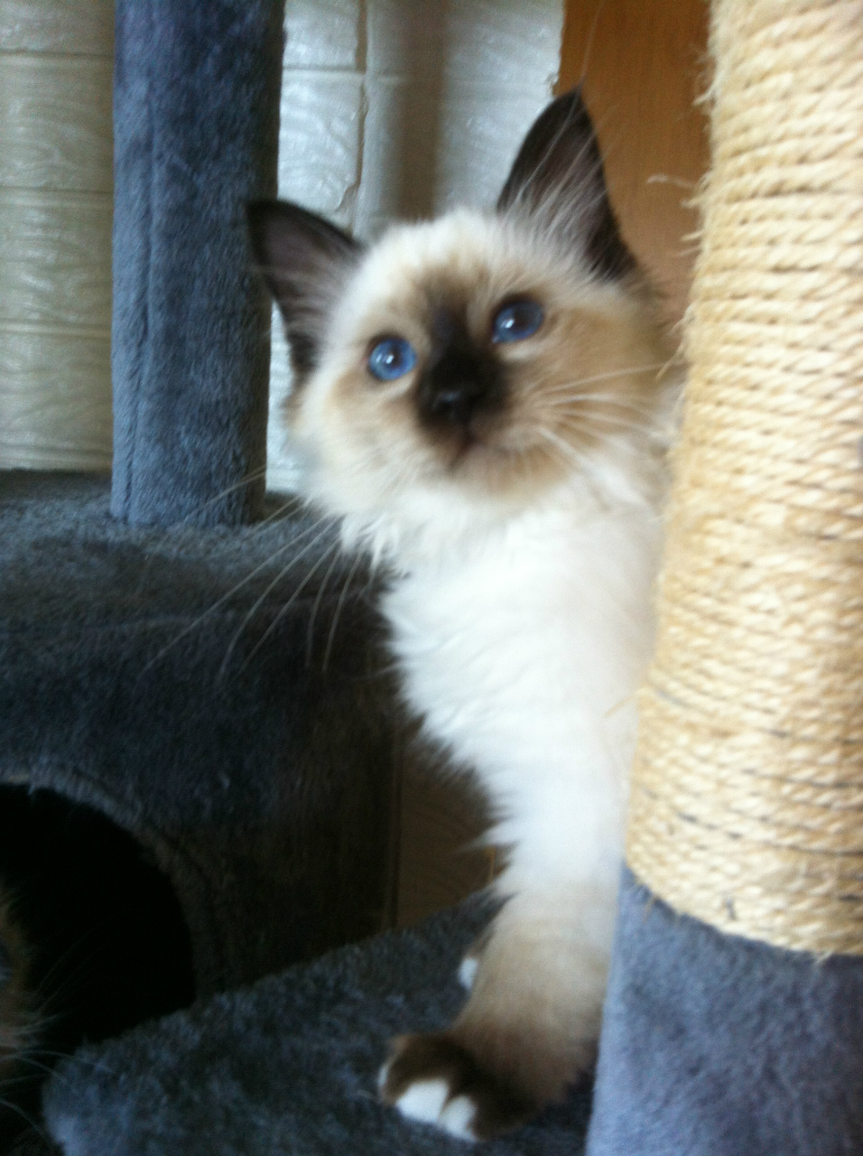 KITTENS AVAILABLE - www concertobirmans net