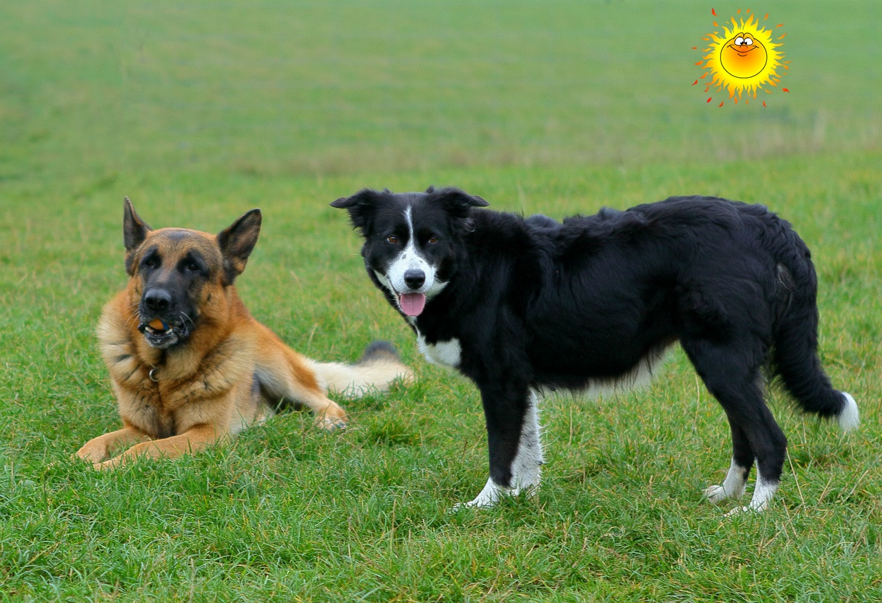 G And H Border Collies Border-collien - www.b...